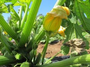 foto-zucchina-1